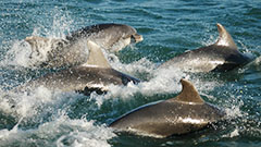 Dolphines in Cardigan Bay